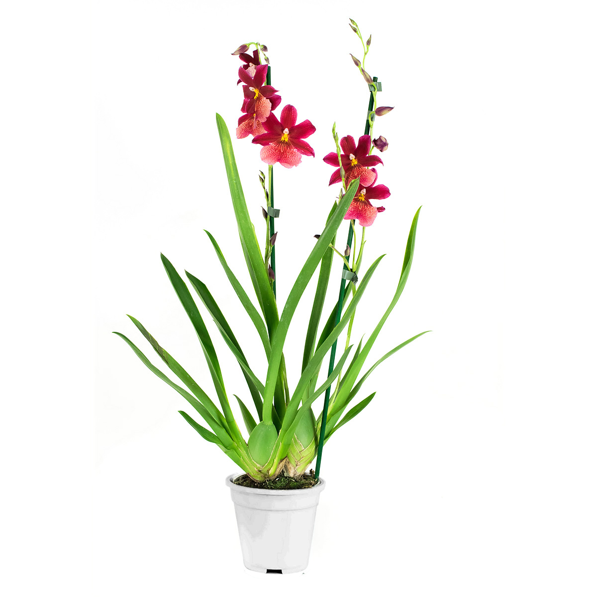 Orchidee 60 cm: Cambria Nelly Isler