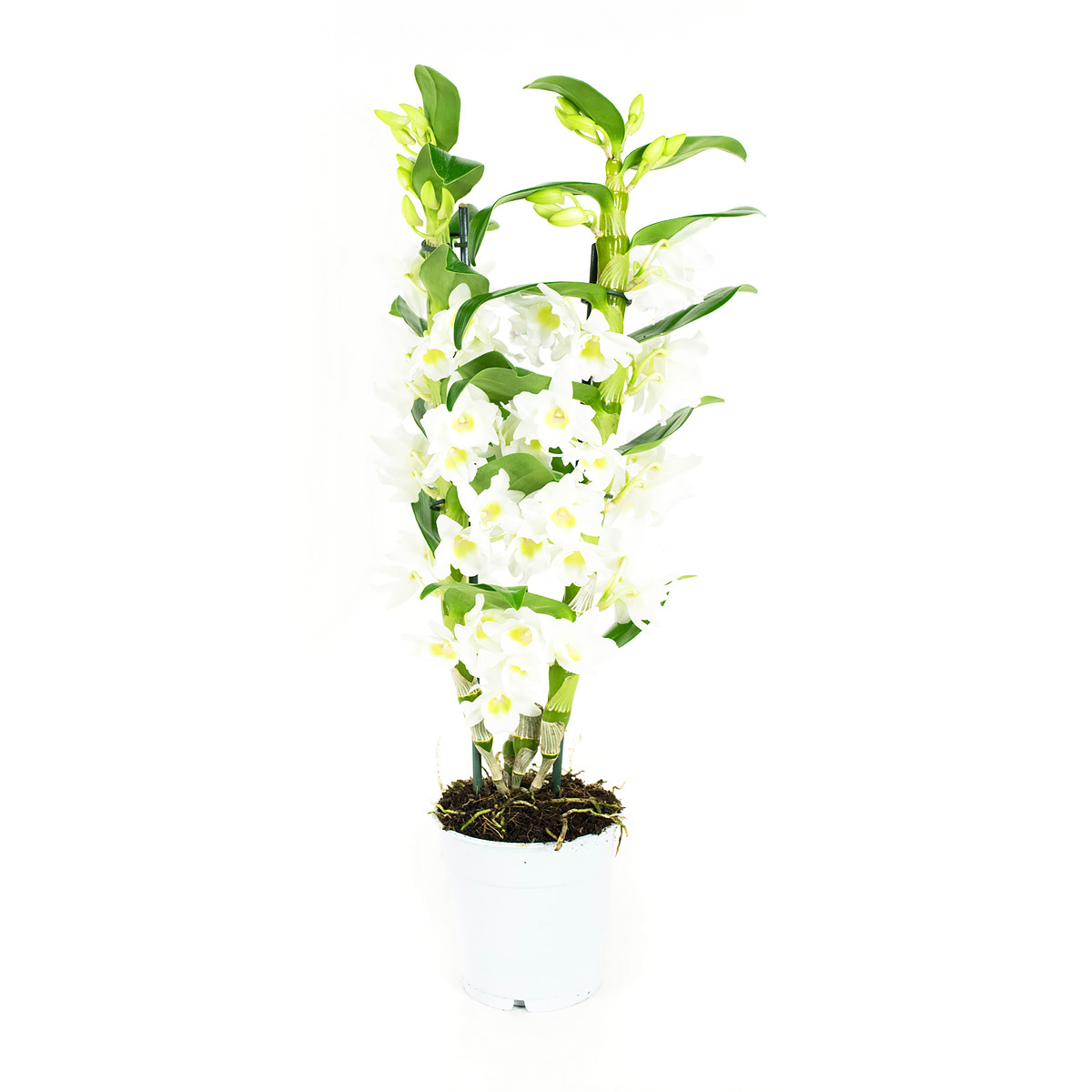Orchidee 60 cm: Dendrobium Nobile Apollon
