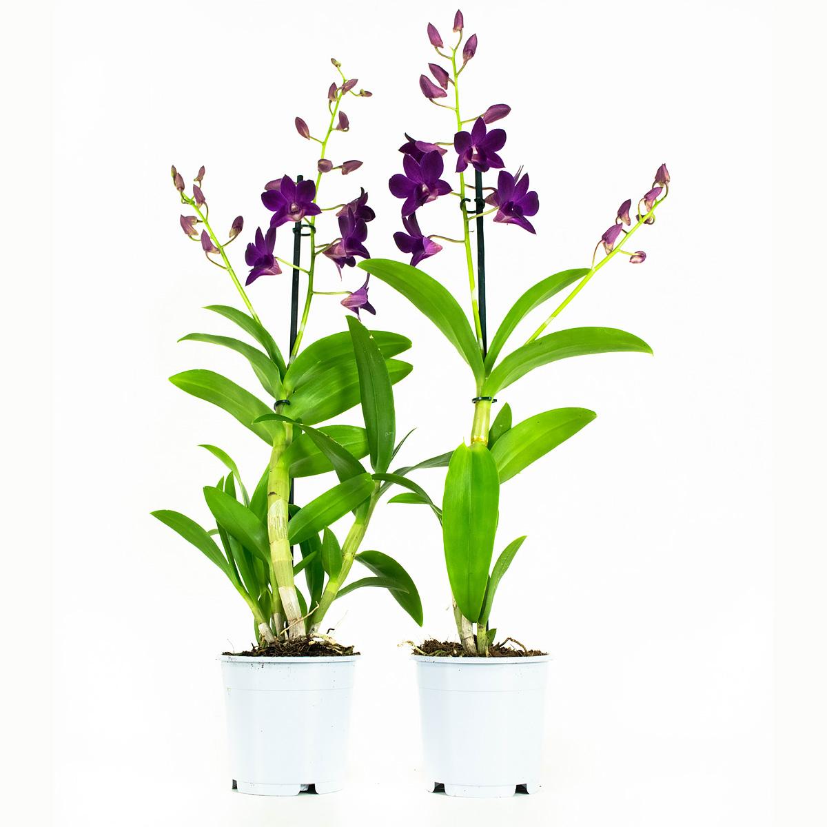 Orchidee 55 cm: Dendrobium Sa-nook P Happiness (2 stuks)