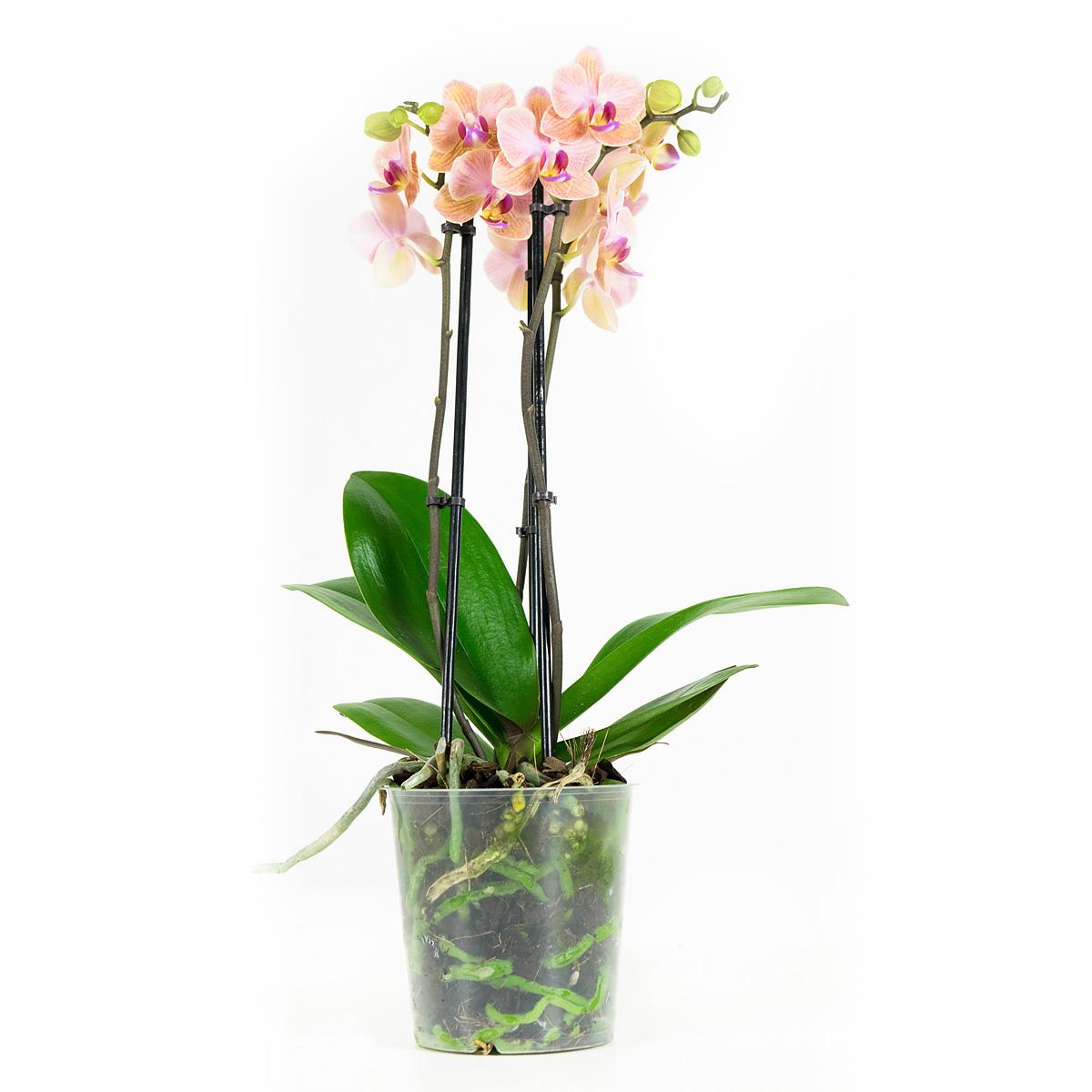 Orchidee 45 cm: Phalaenopsis Multiflora Jena
