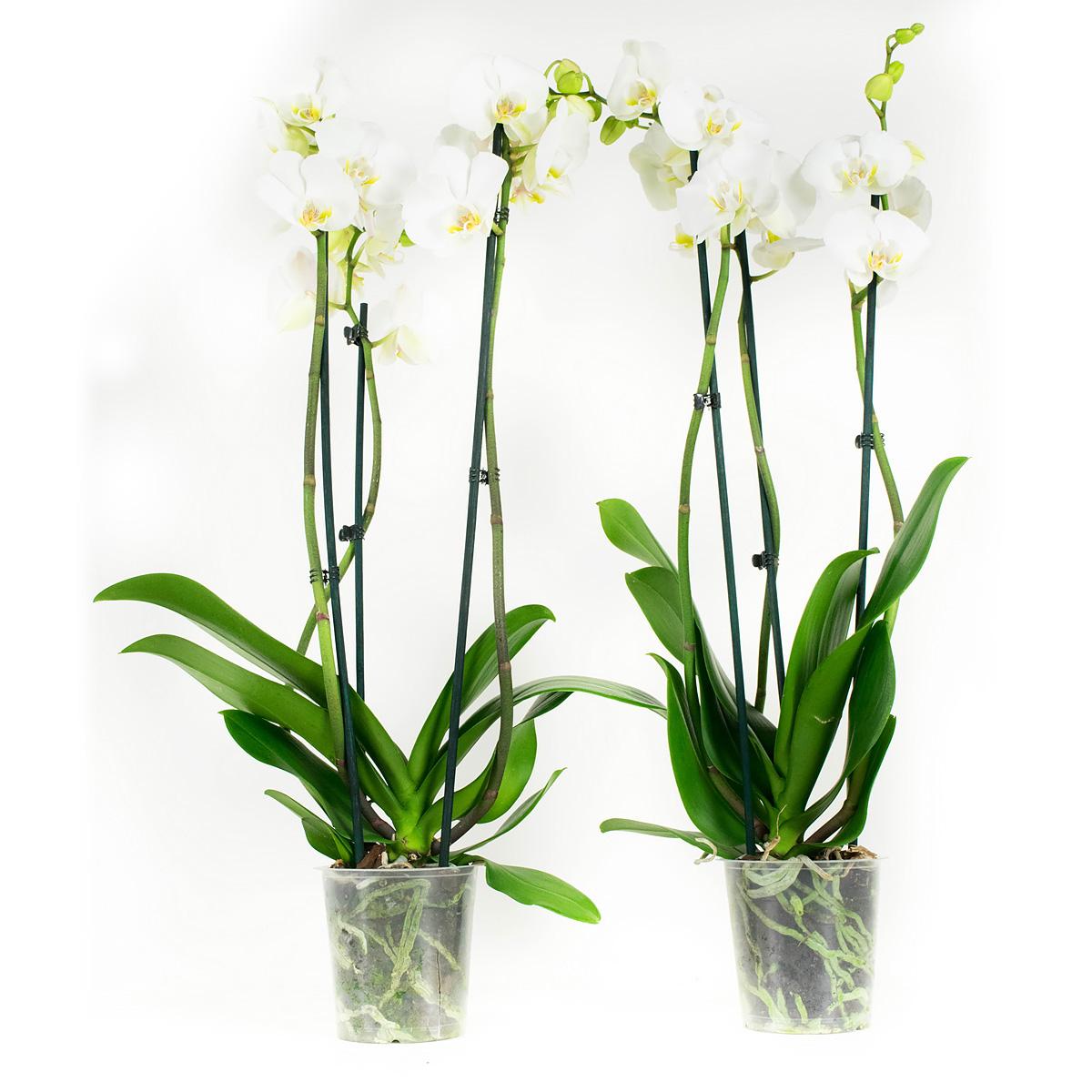 Orchidee 60 cm: Phalaenopsis Wit (2 stuks)