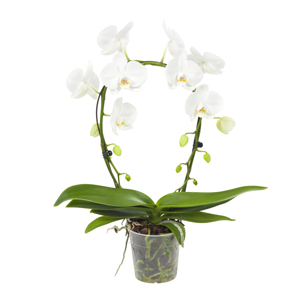 Orchidee 45 cm: Witte orchidee Mirror Miracle