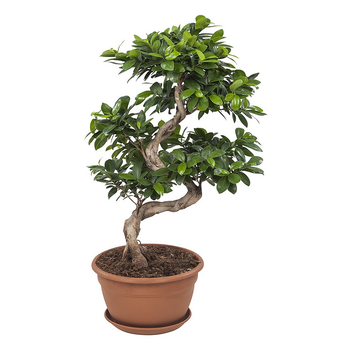 Plant 70 cm: Ficus Gin Seng Bonsai