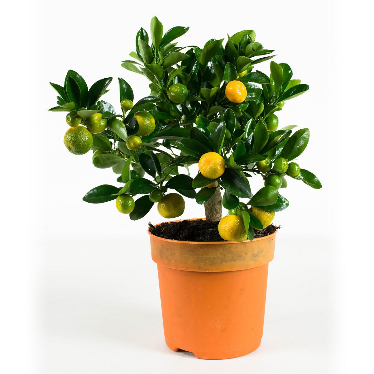 Plant 35 cm: Calamondine