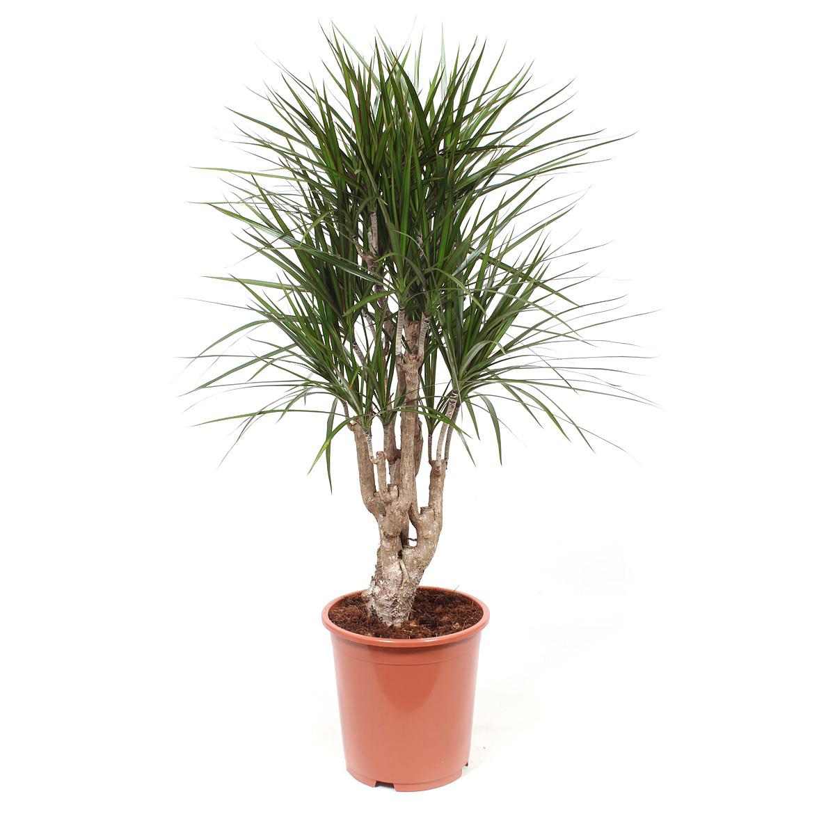 Plant 100 cm: Dracaena Marginata