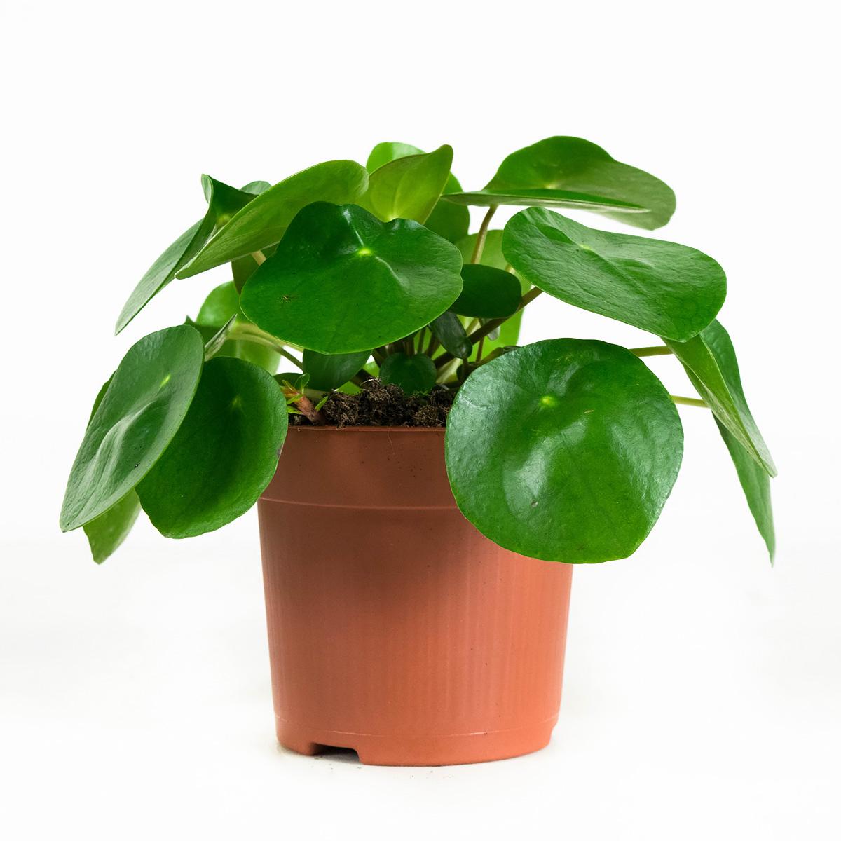 Plant 22 cm: Peperomioides, Pannenkoekenplant (3 stuks)