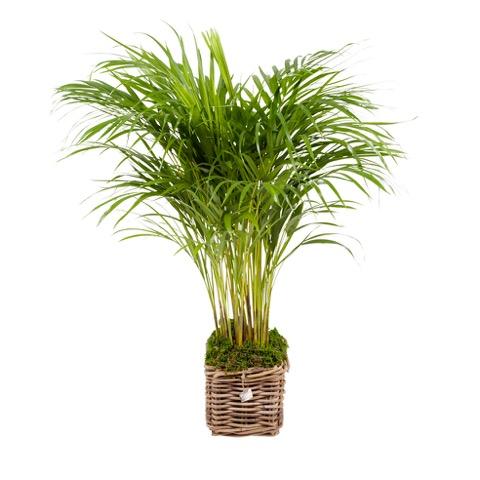 Plant 85 cm: Areca 'Goudpalm'