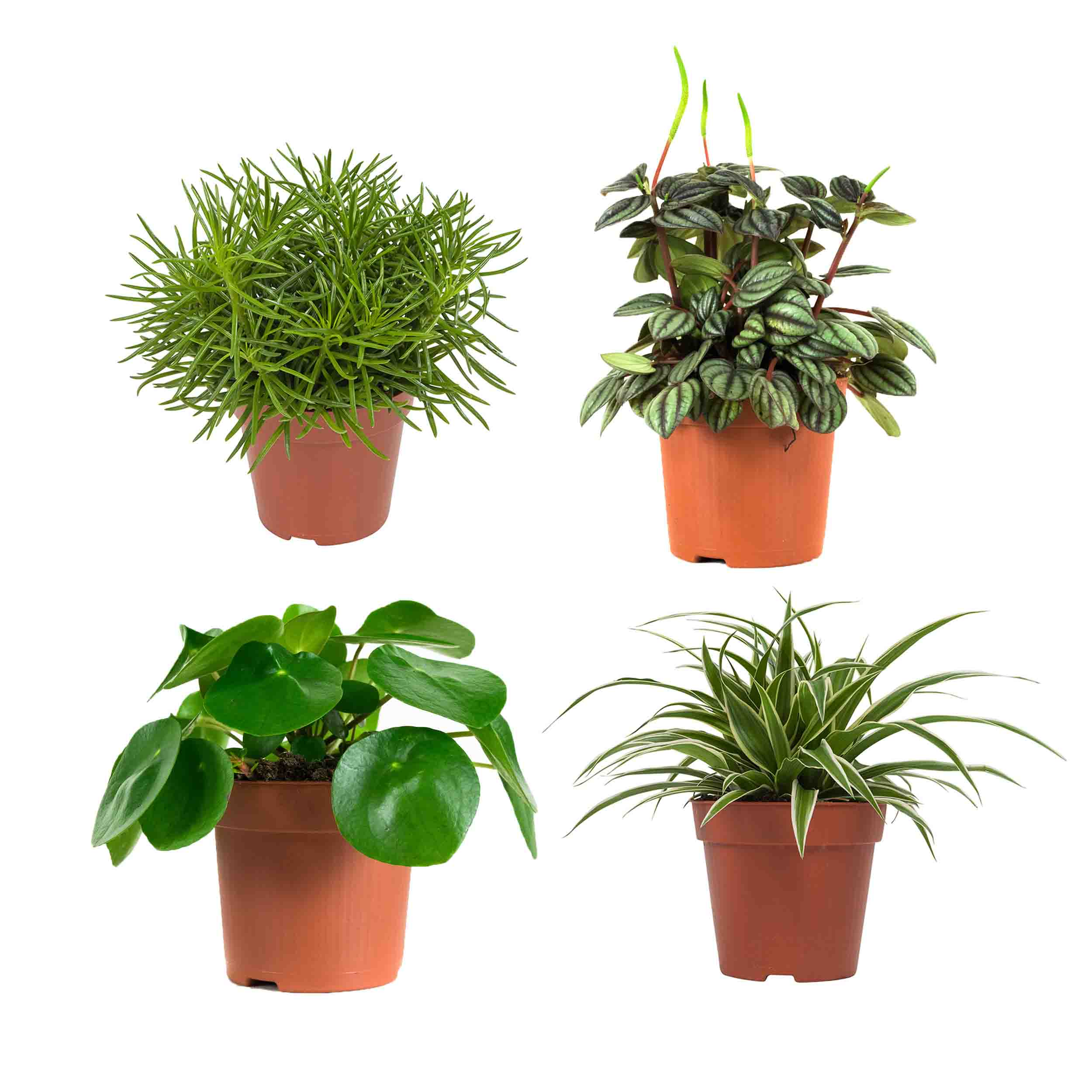 Plant 20 cm: Peperomia, Chlorofyrum,Pannenkoekplant, Senecio (4 stuks)