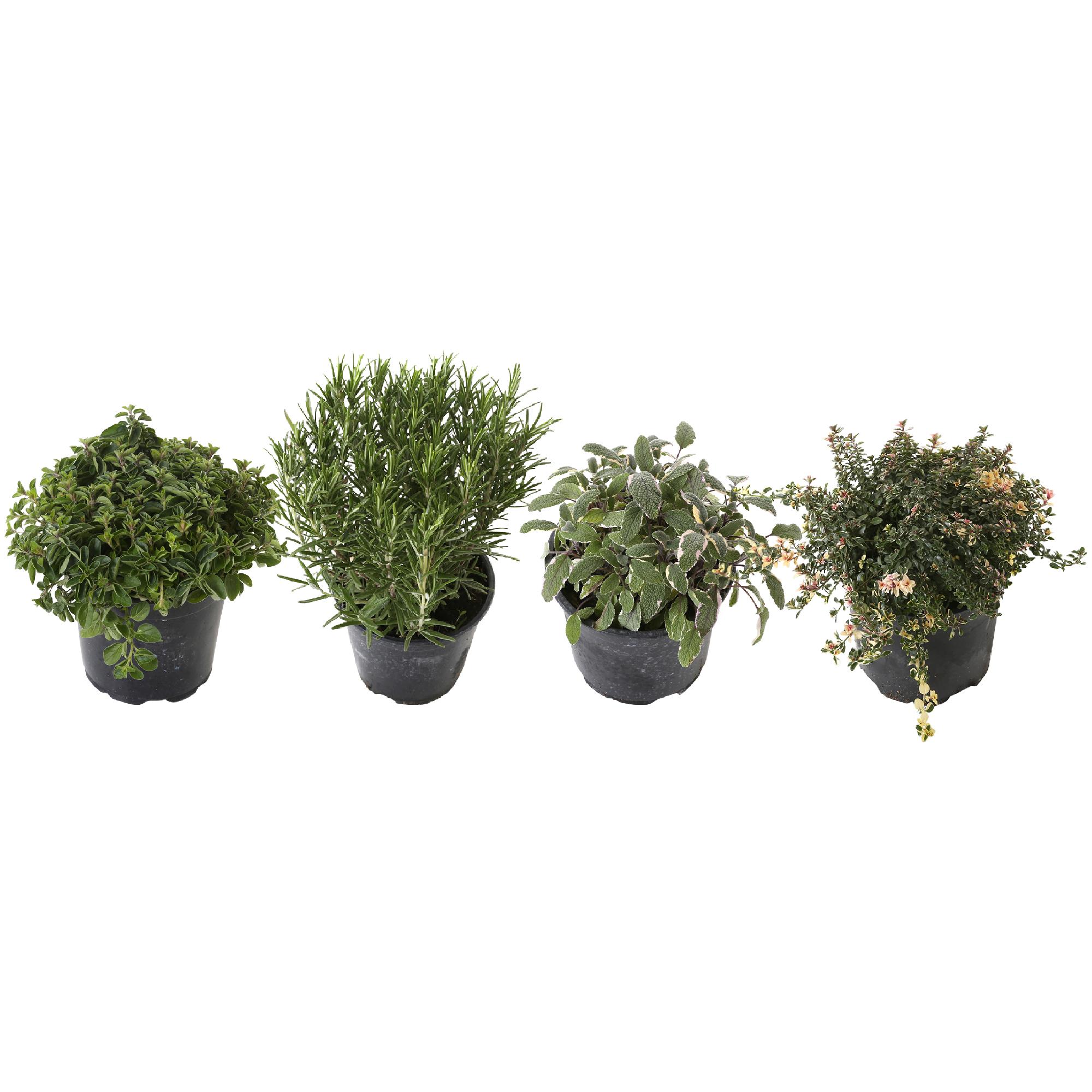 Plant 15 cm: Oregano, Rozemarijn, Salie, Citroen tijm (4 stuks)